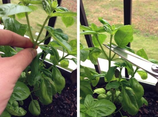 Harvesting Basil // Container Gardening