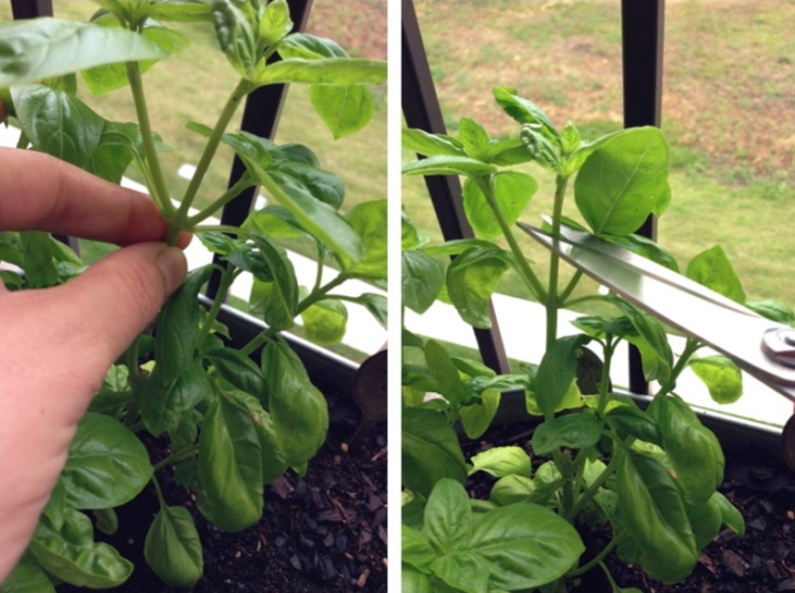 Harvesting Basil // Container Gardening